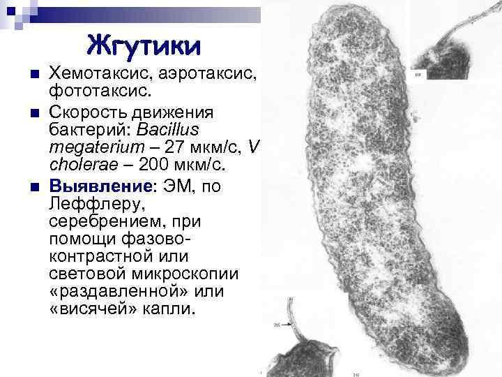 Жгутики n  Хемотаксис, аэротаксис, фототаксис. n  Скорость движения бактерий: Bacillus