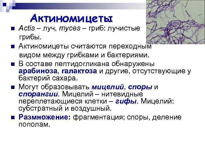 Актиномицеты n  Actis – луч, myces – гриб: лучистые грибы. n