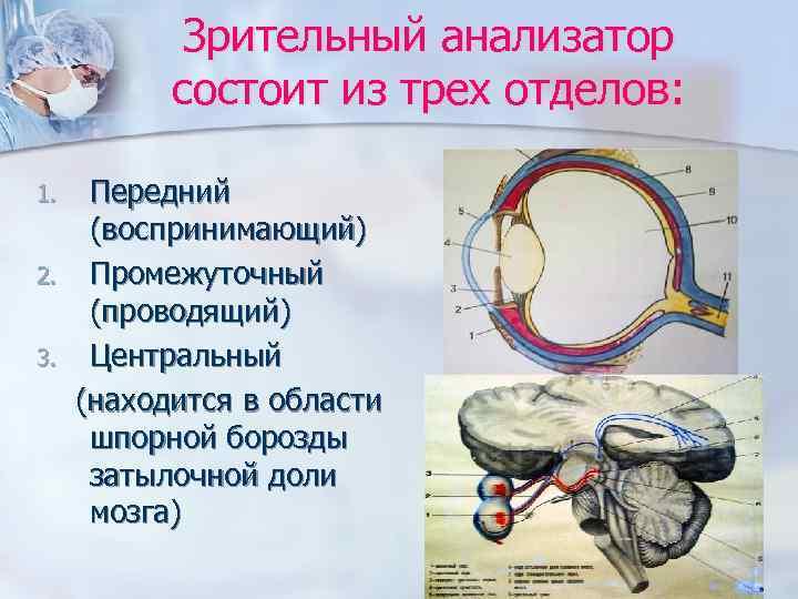 Зрительный анализатор  состоит из трех отделов:  1. Передний  (воспринимающий)