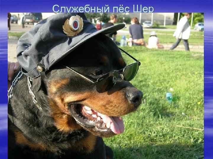 Служебный пёс Шер