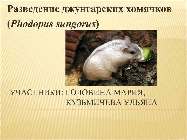 Разведение джунгарских хомячков  (Phodopus sungorus) УЧАСТНИКИ: ГОЛОВИНА МАРИЯ,     КУЗЬМИЧЕВА