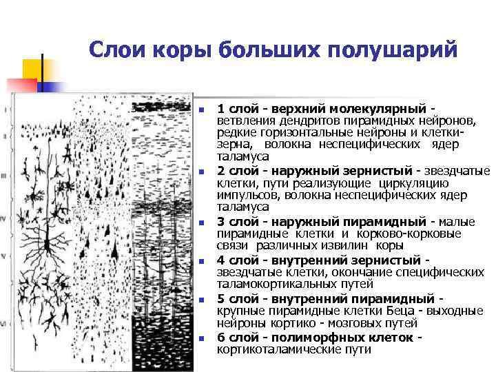 Слои коры больших полушарий   n  1 слой - верхний молекулярный -