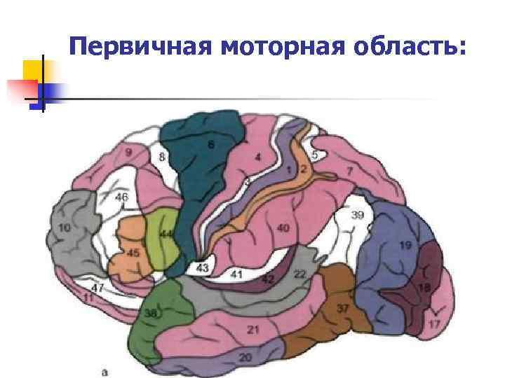 Первичная моторная область: