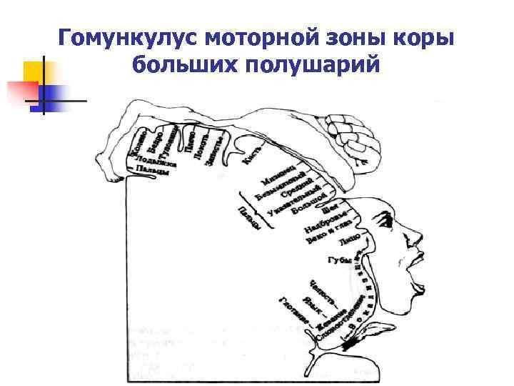 Гомункулус моторной зоны коры  больших полушарий