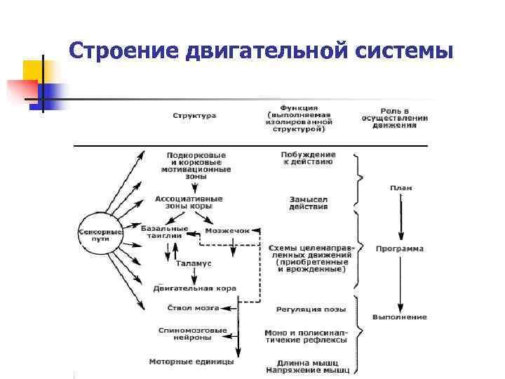 Строение двигательной системы