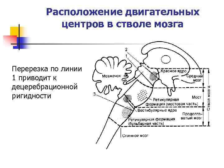 Расположение двигательных   центров в стволе мозга  Перерезка по линии