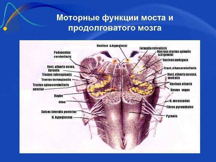 Моторные функции моста и  продолговатого мозга