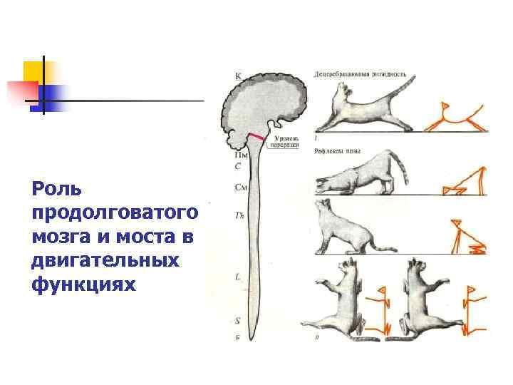 Роль продолговатого мозга и моста в двигательных функциях