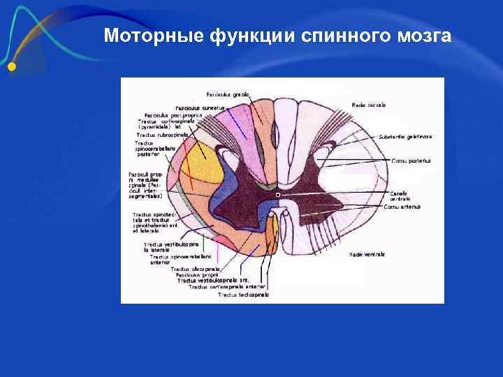 Моторные функции спинного мозга