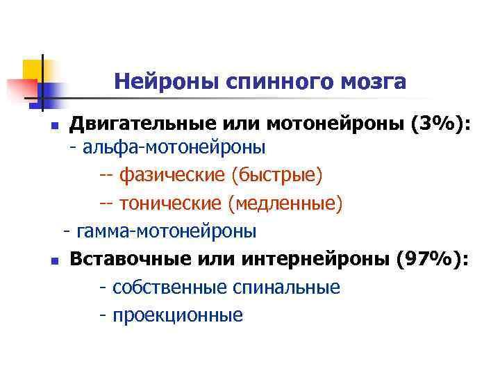 Нейроны спинного мозга n Двигательные или мотонейроны (3%):   - альфа-мотонейроны