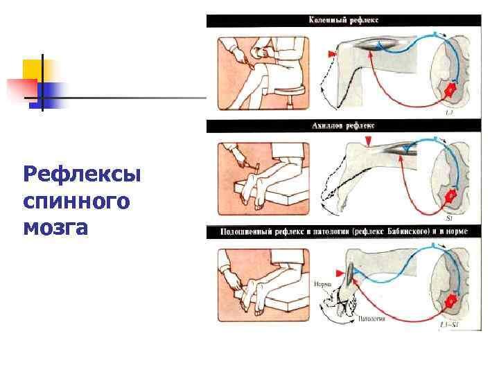 Рефлексы спинного мозга