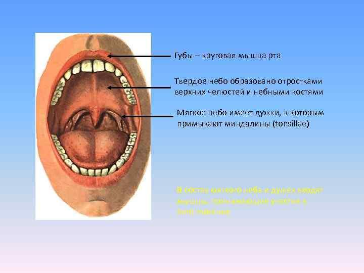 Губы – круговая мышца рта Твердое небо образовано отростками верхних челюстей и небными костями