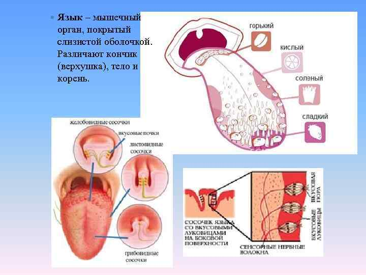 Язык – мышечный орган, покрытый слизистой оболочкой. Различают кончик (верхушка), тело и