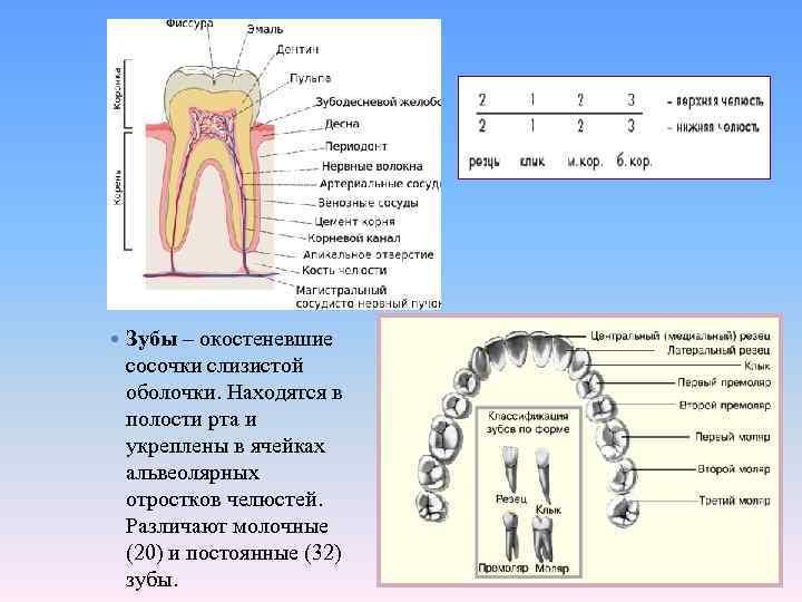 Зубы – окостеневшие сосочки слизистой оболочки. Находятся в полости рта и укреплены