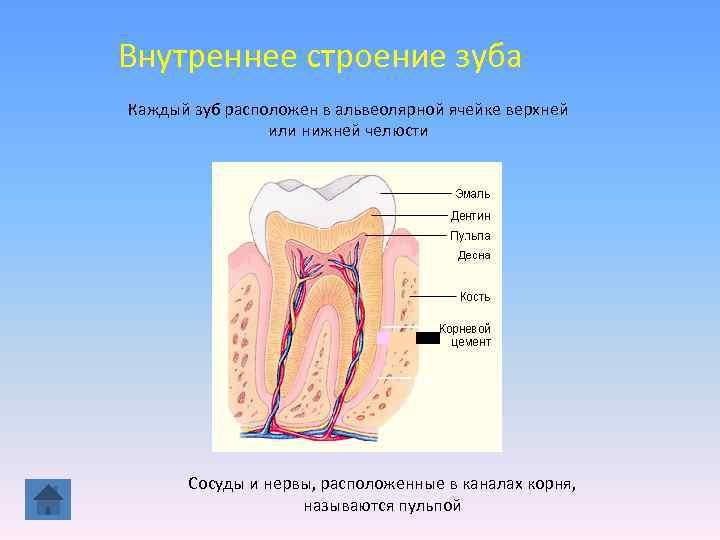 Внутреннее строение зуба Каждый зуб расположен в альвеолярной ячейке верхней   или нижней