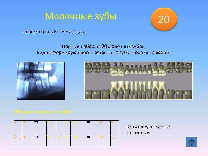 Молочные зубы    20 Появляются в 6 –