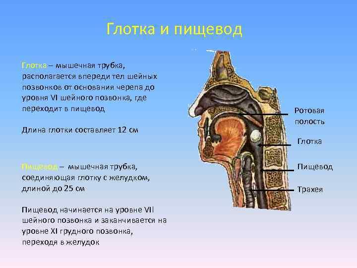 Глотка и пищевод Глотка – мышечная трубка, располагается впереди тел