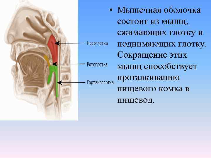 • Мышечная оболочка  состоит из мышц,  сжимающих глотку и  поднимающих