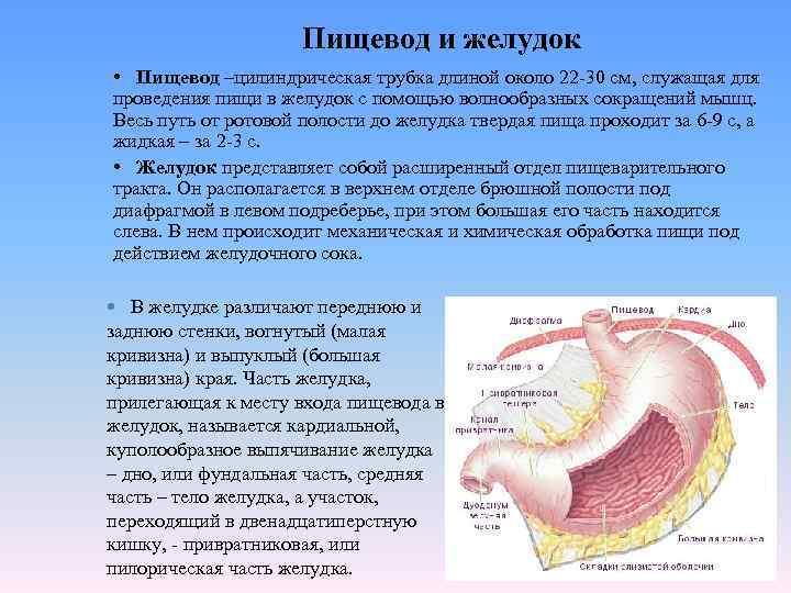 Пищевод и желудок • Пищевод –цилиндрическая трубка длиной около