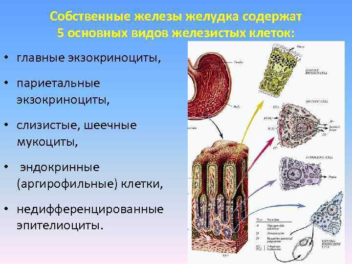 Собственные железы желудка содержат   5 основных видов железистых клеток: