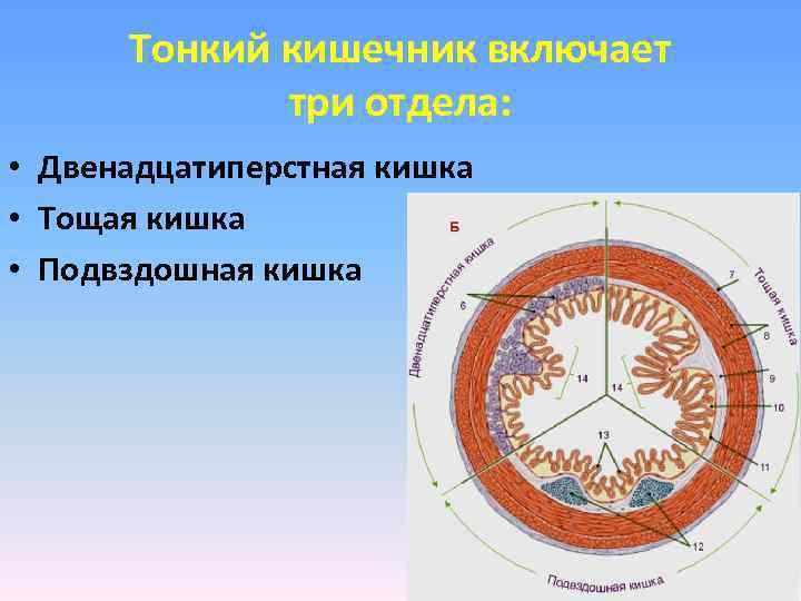 Тонкий кишечник включает   три отдела:  • Двенадцатиперстная кишка • Тощая
