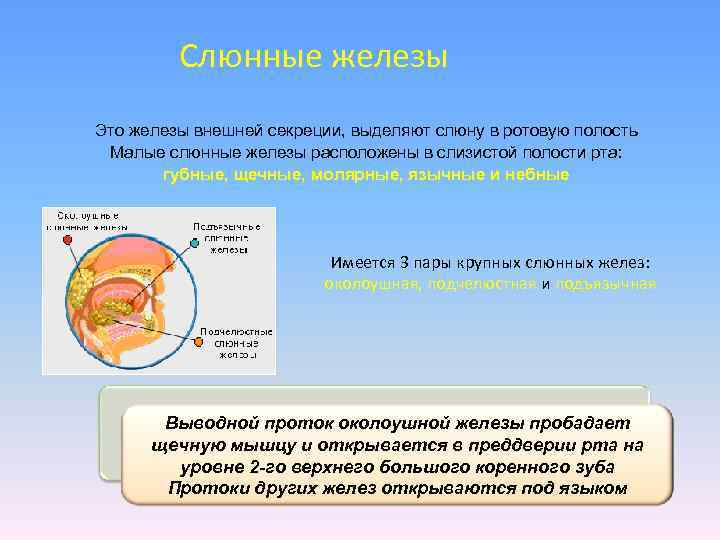 Слюнные железы Это железы внешней секреции, выделяют слюну в ротовую полость