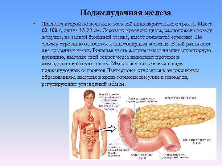 Поджелудочная железа •  Является второй по величине железой пищеварительного