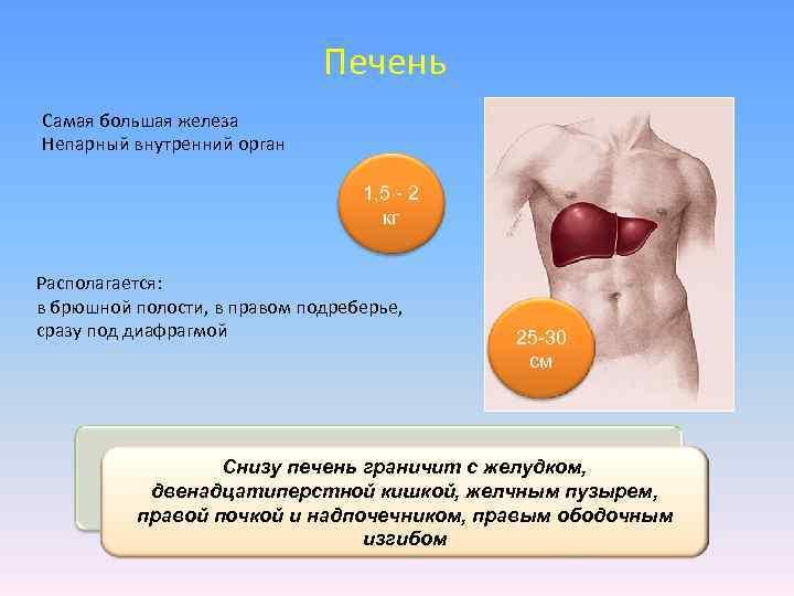 Печень Самая большая железа Непарный внутренний орган