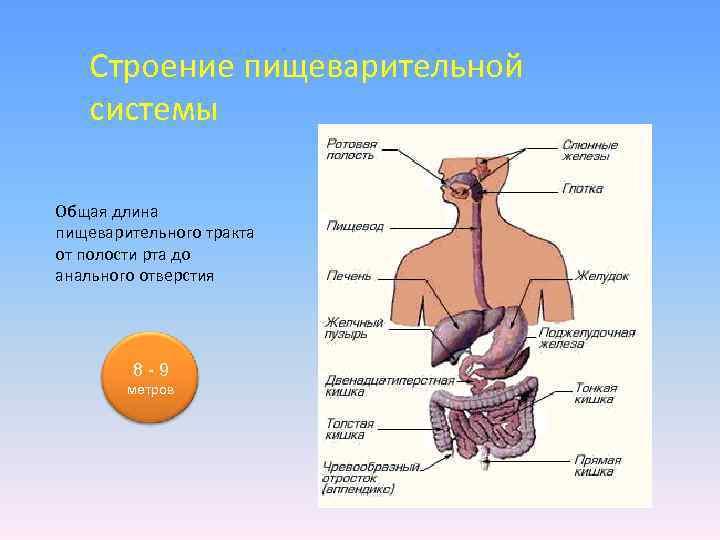 Строение пищеварительной системы Общая длина пищеварительного тракта от полости рта до анального