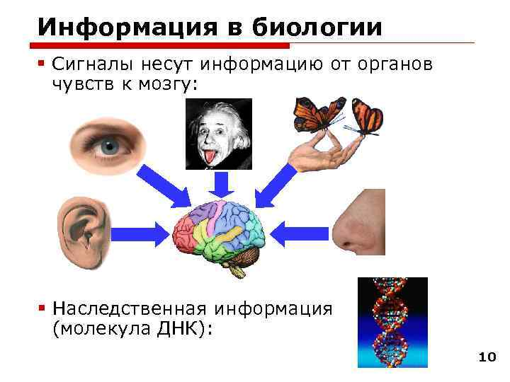 Информация в биологии § Сигналы несут информацию от органов  чувств к мозгу: §