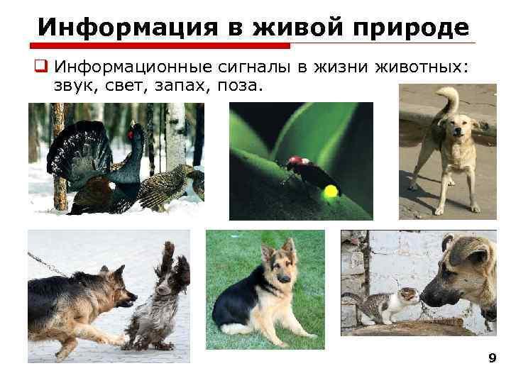 Информация в живой природе q Информационные сигналы в жизни животных:  звук, свет, запах,