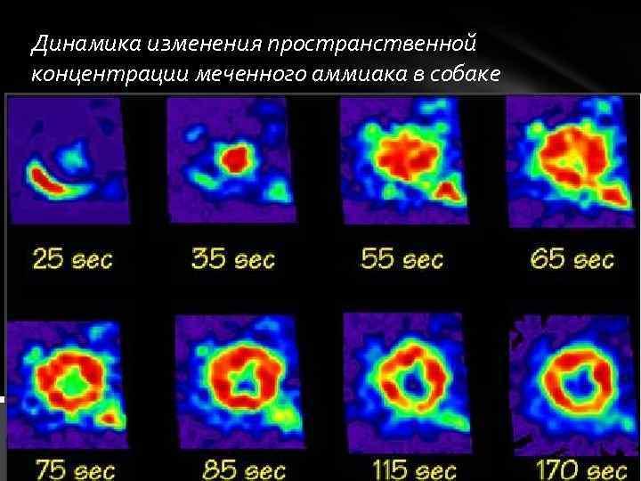 Динамика изменения пространственной концентрации меченного аммиака в собаке