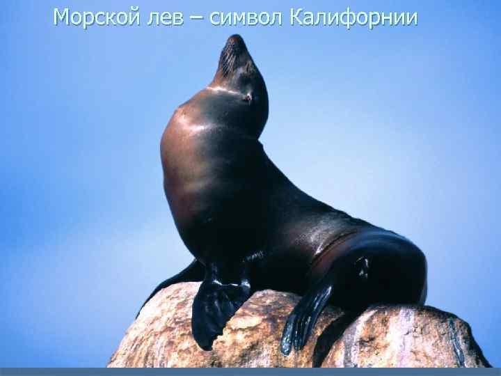 Морской лев – символ Калифорнии