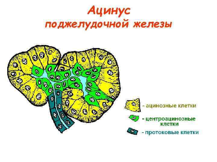 Ацинус поджелудочной железы