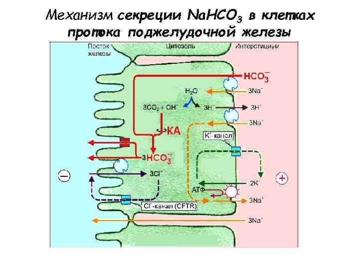 Механизм секреции Na. HCO 3 в клетках  протока поджелудочной железы