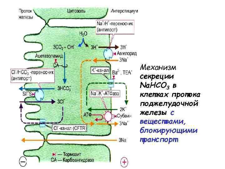 Механизм секреции Na. HCO 3 в клетках протока поджелудочной железы с веществами, блокирующими транспорт