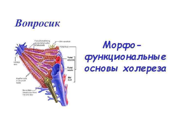 Вопросик    Морфо-  функциональные  основы холереза