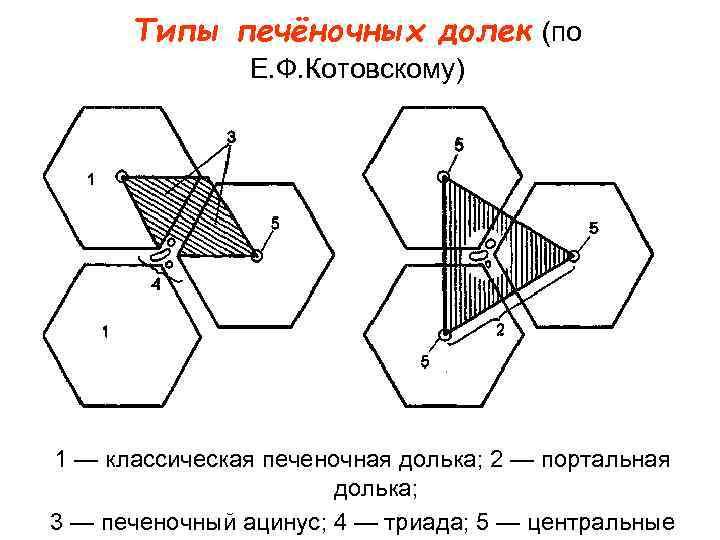 Типы печёночных долек (по   Е. Ф. Котовскому) 1 — классическая печеночная
