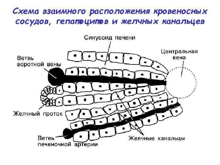 Схема взаимного расположения кровеносных сосудов, гепатоцитов и желчных канальцев
