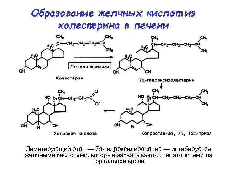 Образование желчных кислот из  холестерина в печени Лимитирующий этап — 7 а-гидроксилирование