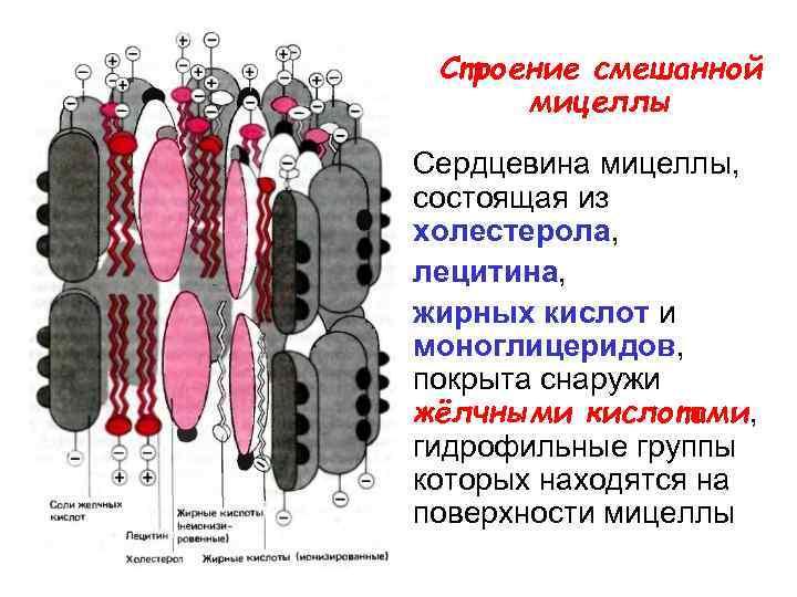Строение смешанной  мицеллы Сердцевина мицеллы,  состоящая из холестерола,  лецитина,