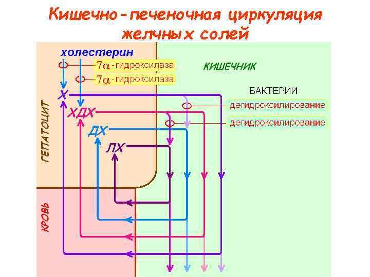 Кишечно-печеночная циркуляция  желчных солей