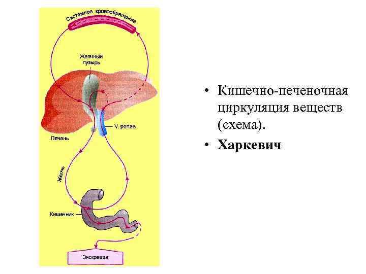• Кишечно-печеночная  циркуляция веществ  (схема).  • Харкевич