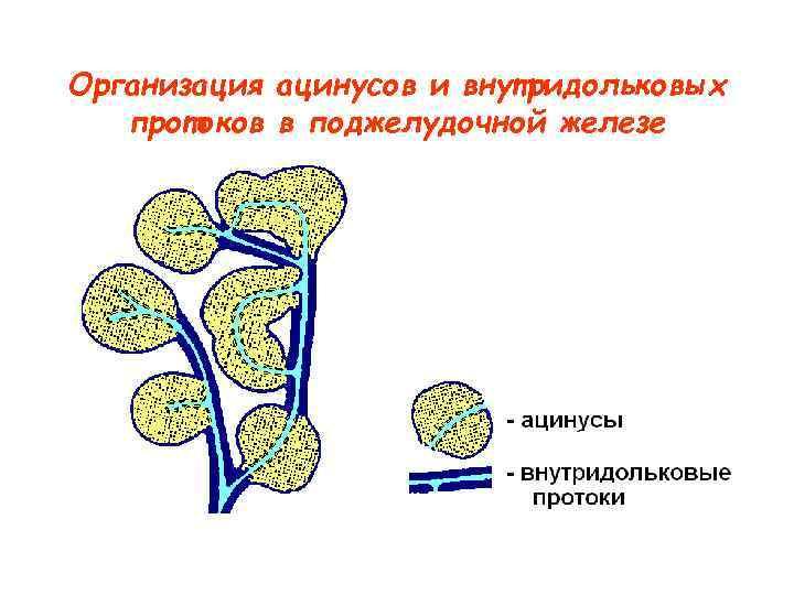 Организация ацинусов и внутридольковых  протоков в поджелудочной железе