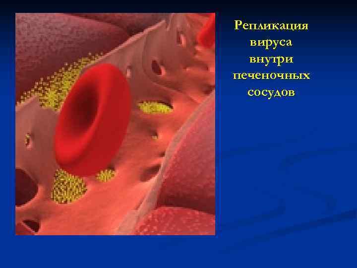 Репликация  вируса  внутри печеночных  сосудов