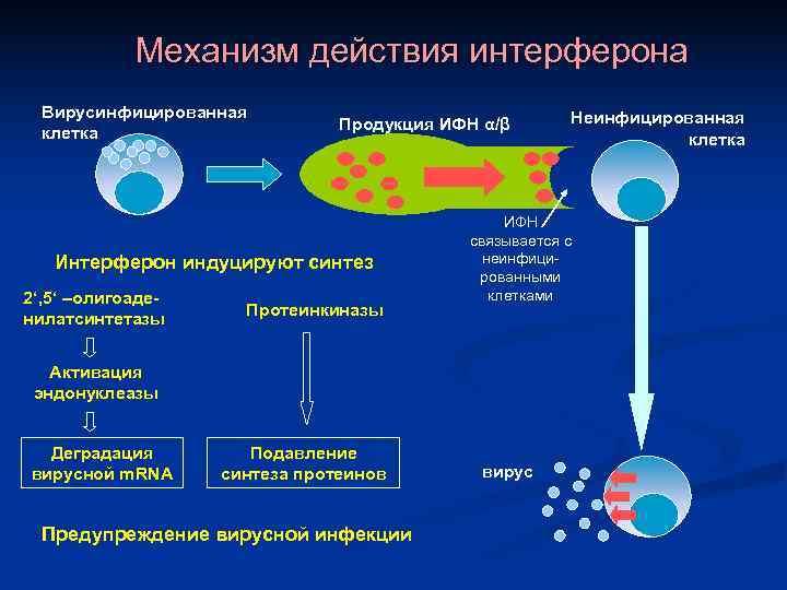 Механизм действия интерферона  Вирусинфицированная       Неинфицированная