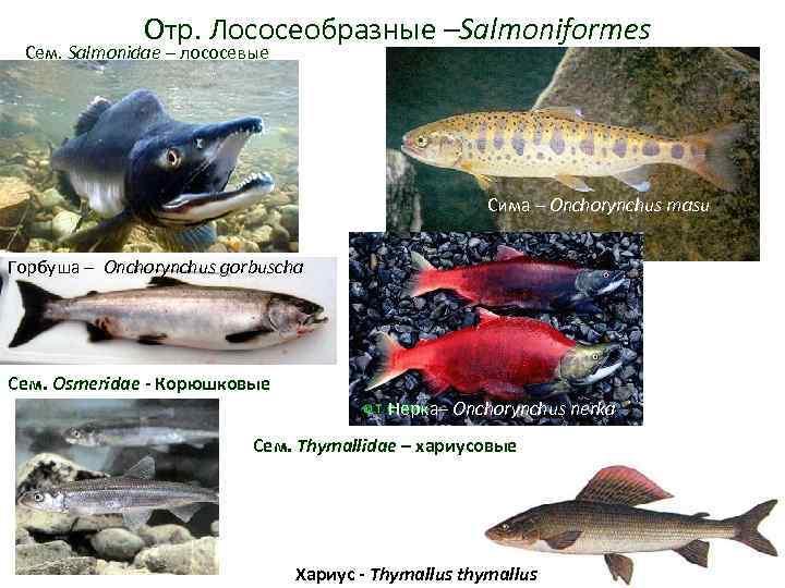 Отр. Лососеобразные –Salmoniformes Сем. Salmonidae – лососевые