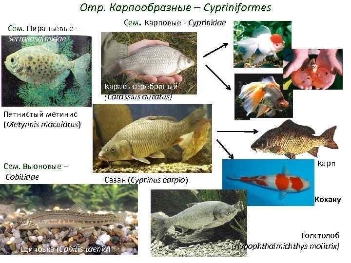 Отр. Карпообразные – Cypriniformes     Сем. Карповые -