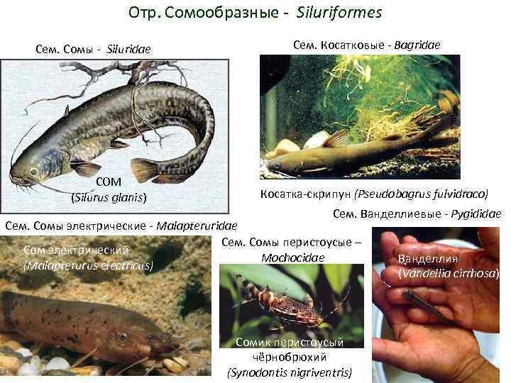 Отр. Сомообразные - Siluriformes Сем. Сомы - Siluridae