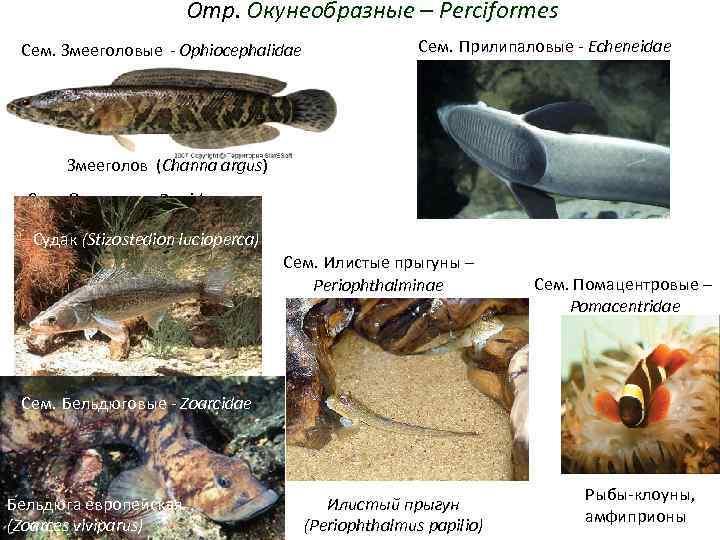 Отр. Окунеобразные – Perciformes Сем. Змееголовые - Ophiocephalidae